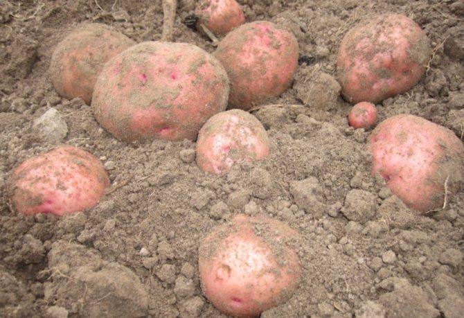 Картофель «зорачка»: описание сорта, правила выращивания, фото