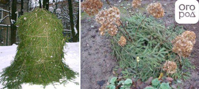 Уход за хостой осенью и правила подготовки к зиме, как обрезать и укрывать