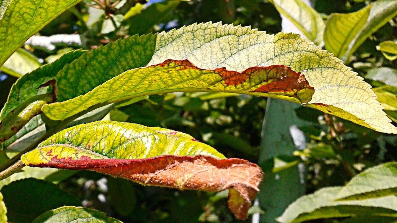 Почему желтеют и скручиваются листья у свеклы и что делать