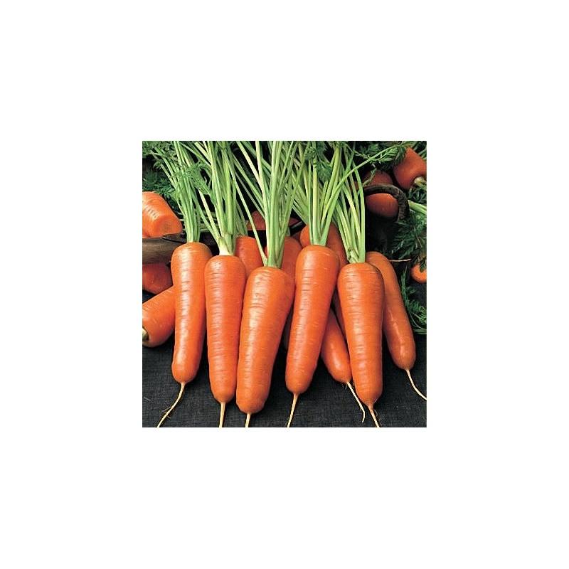 Морковь абако f1 описание сорта фото отзывы - скороспел