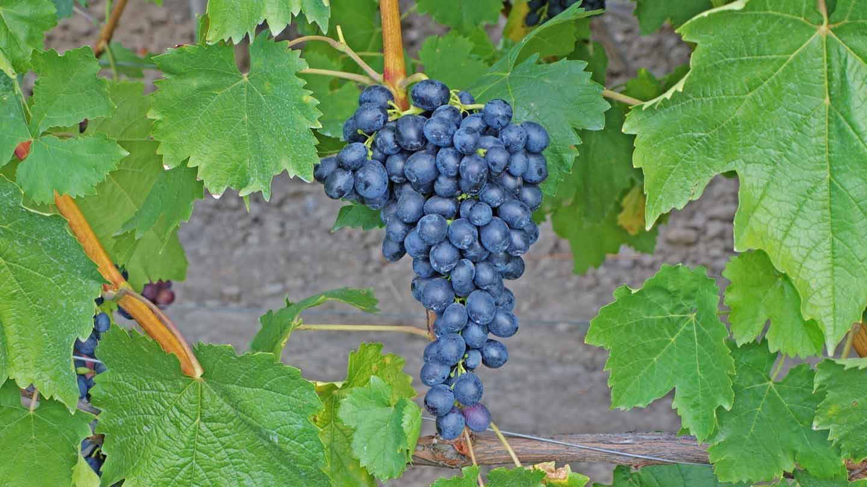 ᐉ каберне крупногроздный - сорт винограда - roza-zanoza.ru