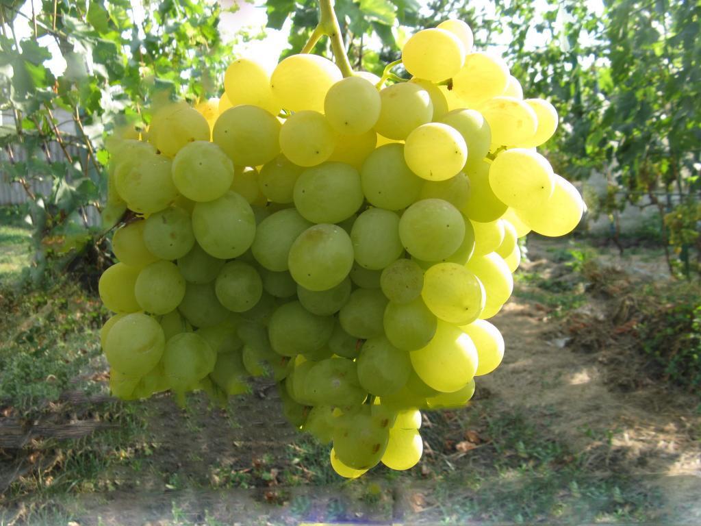 Виноград кеша: описание сорта, фото, отзывы, посадка и уход