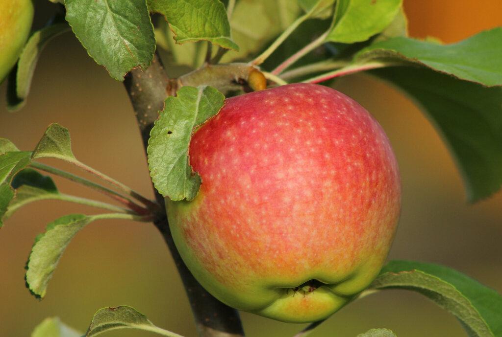 Описание сорта яблони осеннее полосатое