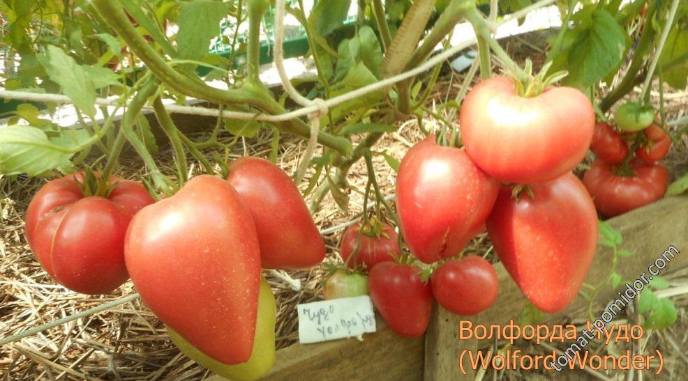 Описание сердцевидного томата Чудо Уолфорда и особенности выращивания
