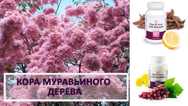 Полезные свойства и противопоказания к употреблению коры муравьиного дерева