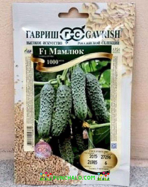 Огурец мамлюк: описание сорта, отзывы тех, кто его выращивал, инструкция по выращиванию
