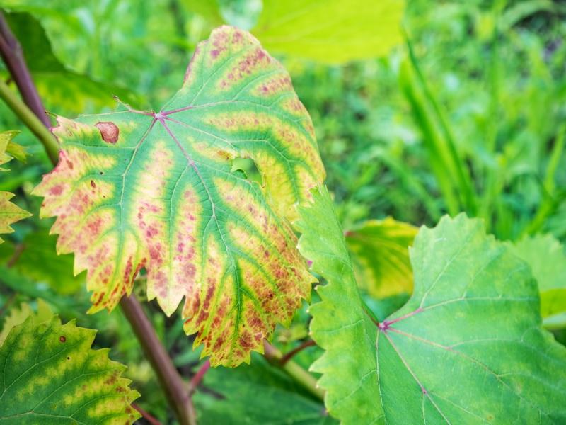 Почему виноград болеет антракнозом и как его лечить?