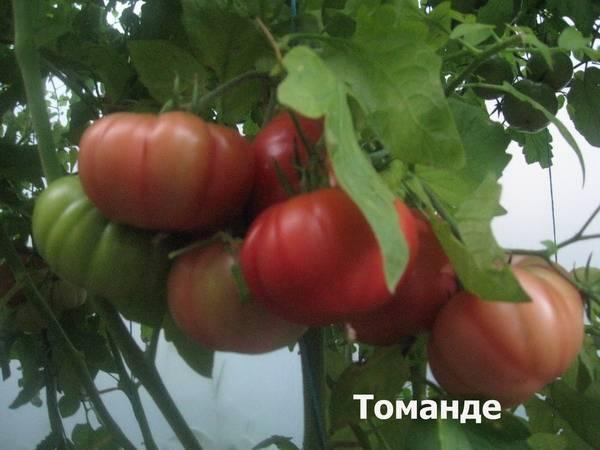«мясистый красавец» — нарядный томат с высокой урожайностью