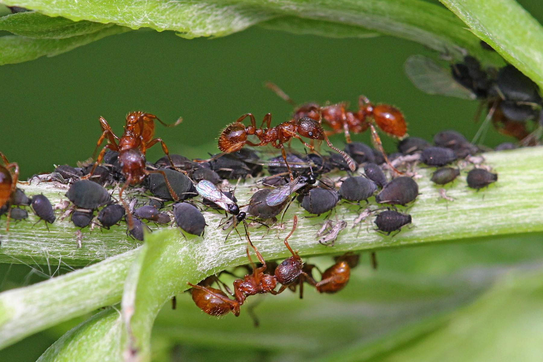 Что делать, если муравьи едят капусту, как избавиться от них