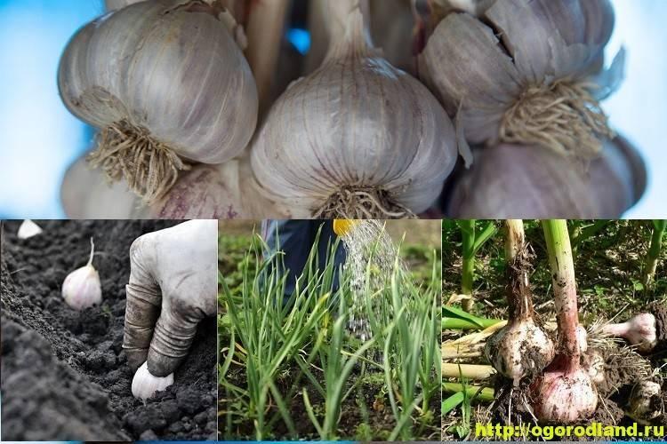 Описание чеснока сорта софиевский, его урожайность и выращивание