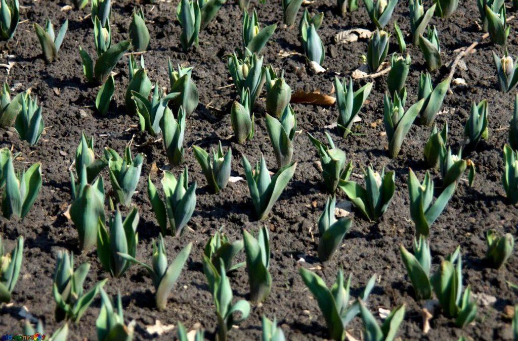 Чем и как обработать тюльпаны перед посадкой осенью и нужно ли это делать