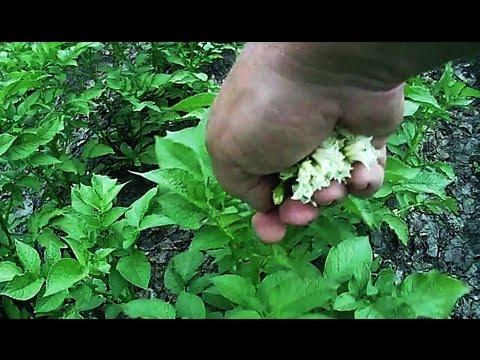 Зачем нужно обрывать цветки у картофеля, а когда это губит урожай