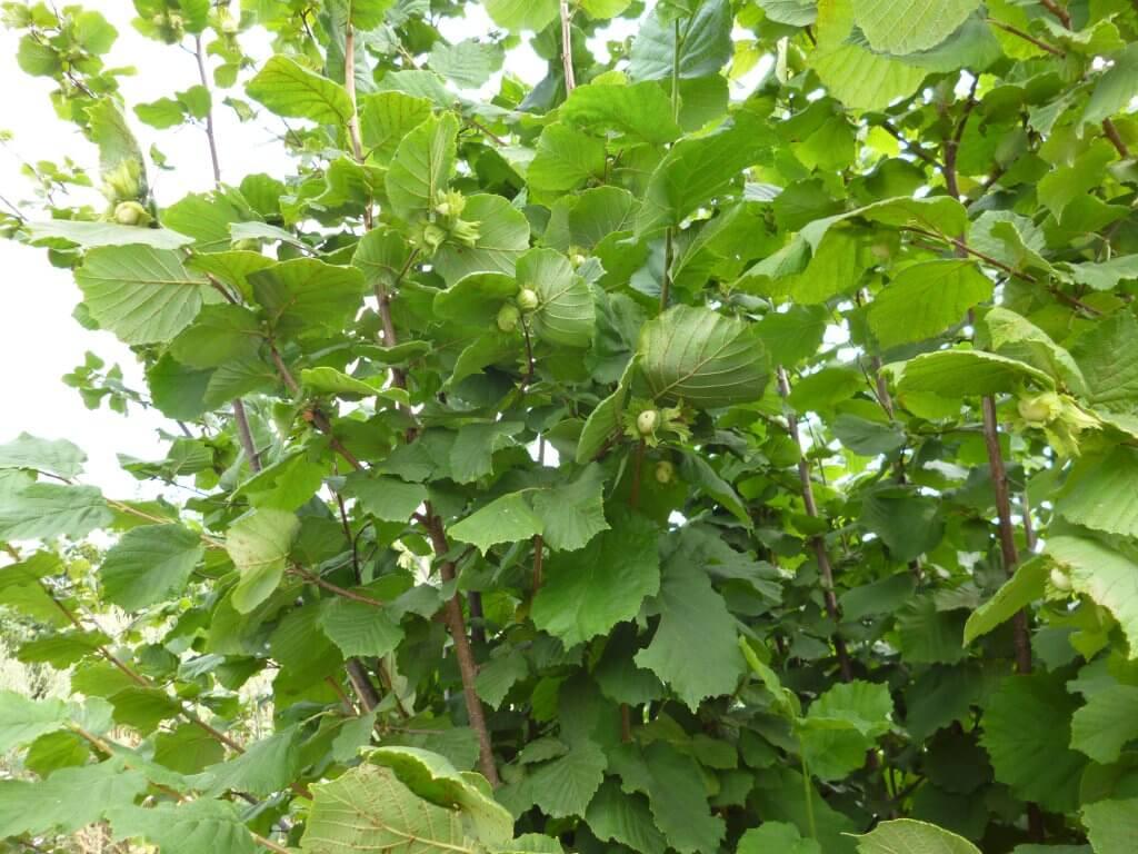 Фундук - лещина - деревья и кустарники   дом, сад и огород