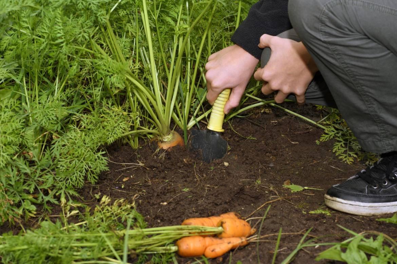 Когда убирать морковь с грядки на хранение в 2021 году: сроки уборки по луне, правила и советы по хранению урожая