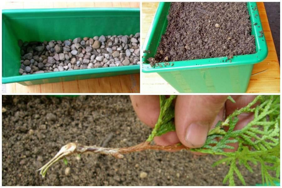Выращивание эстрагона из семян: как сажать тархун на даче в открытый грунт таким способом, как ухаживать за травой, а также фото посевного материала и всходов русский фермер