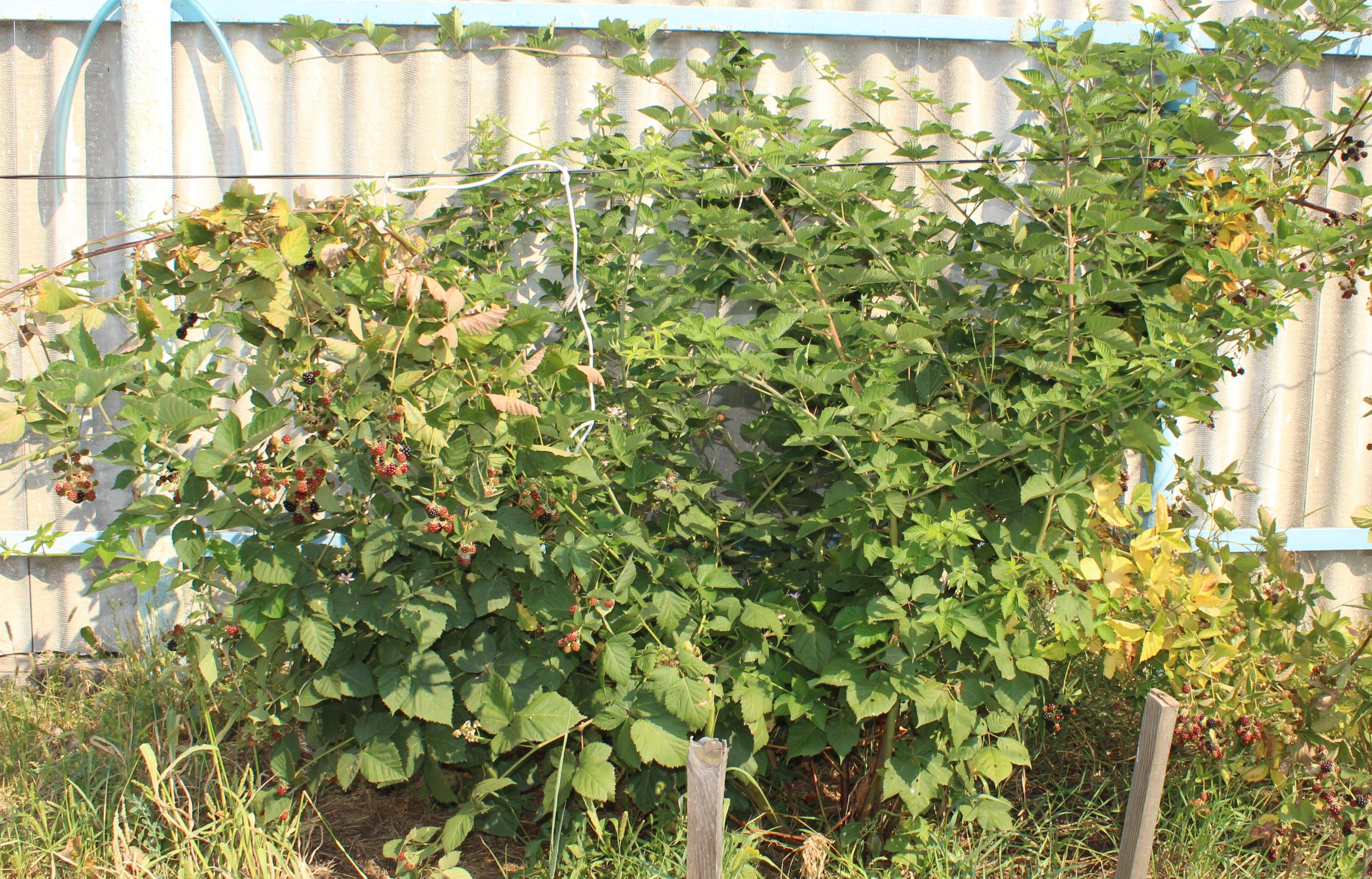 Ежевика торнфри: выращивание и уход, формирование куста у сорта