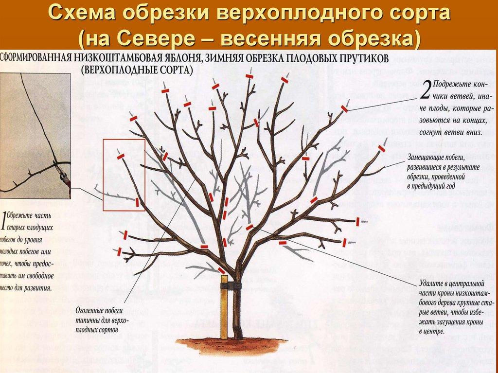 ✅ калина обрезка осенью омоложение старого куста схема - питомник46.рф
