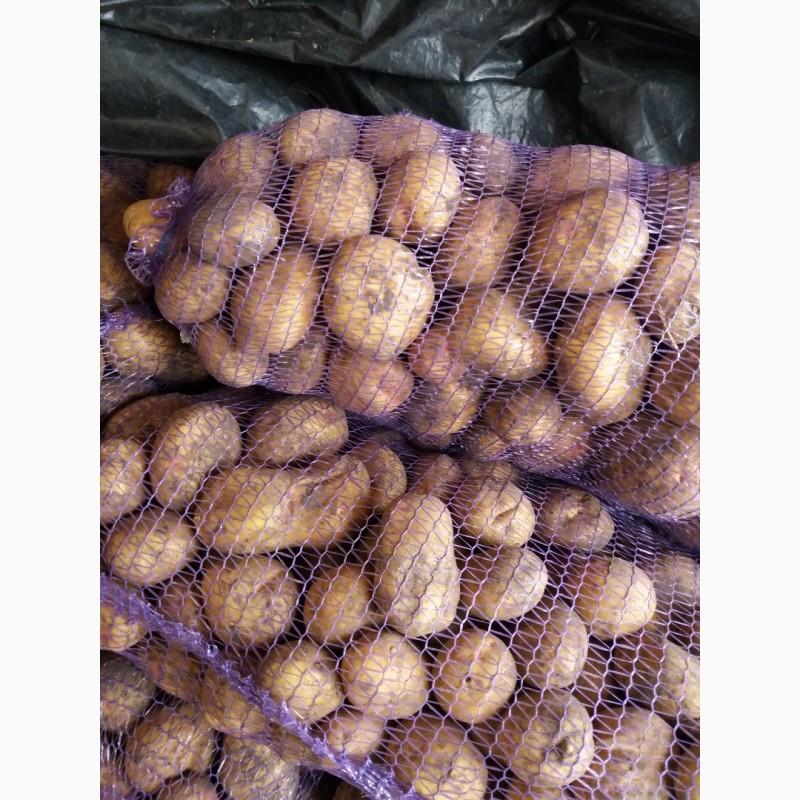 Картофель «беллароза»: описание сорта, фото и отзывы