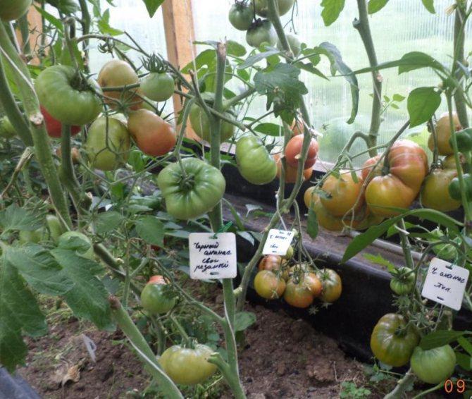 Описание томата черный ананас - дневник садовода semena-zdes.ru