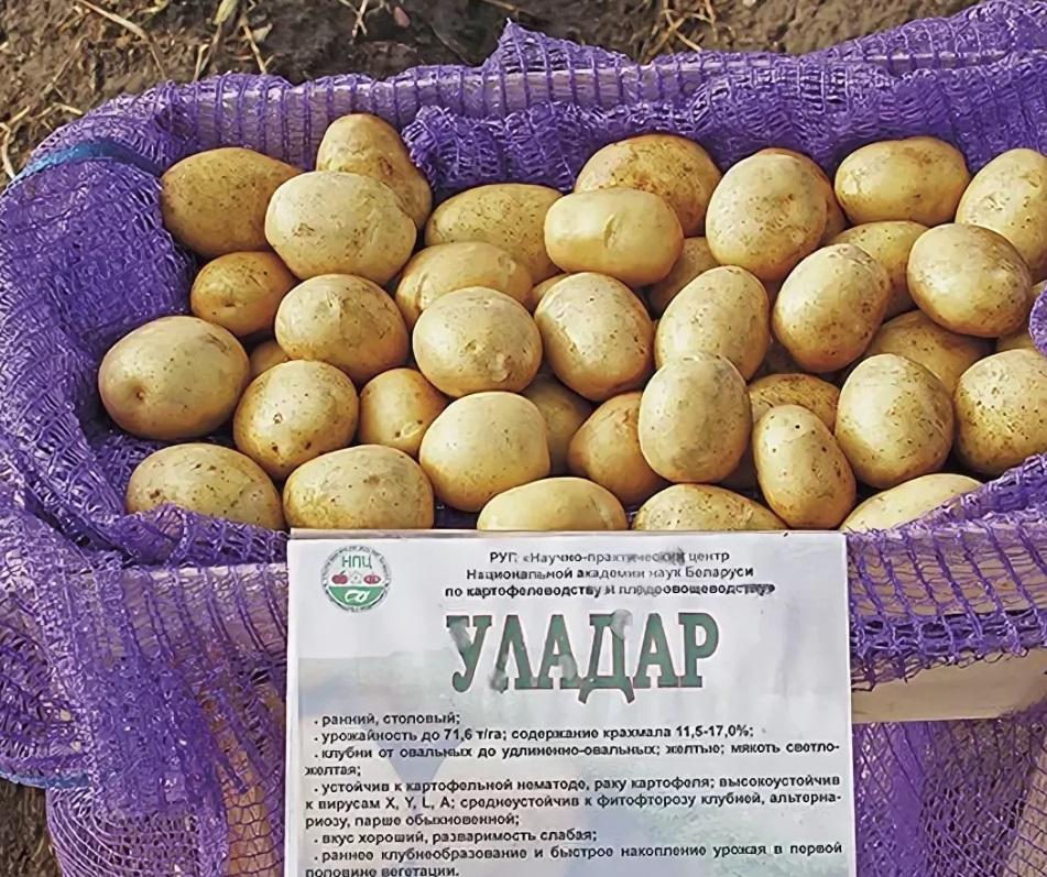 Сорт картофеля лорх: характеристика, описание с фото, отзывы