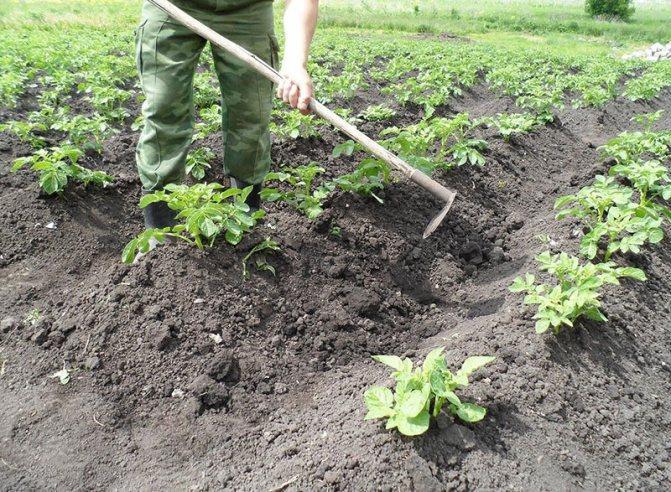 Как окучивать картошку правильно: пошаговая инструкция