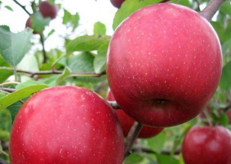 Яблоня чемпион: описание сорта, фото, отзывы садоводов, видео