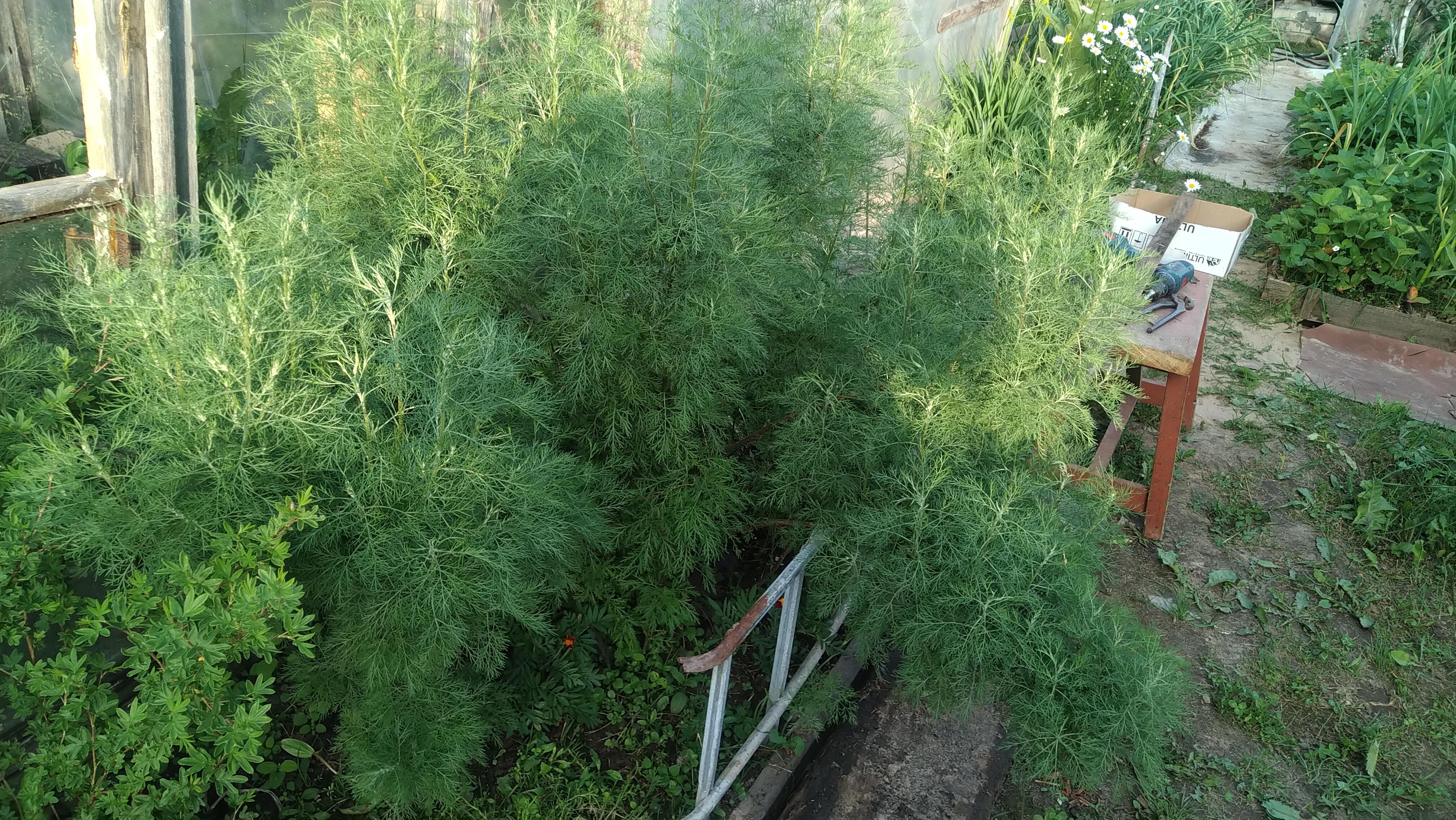 ᐉ писцидиевое дерево - полезные свойства, описание - roza-zanoza.ru