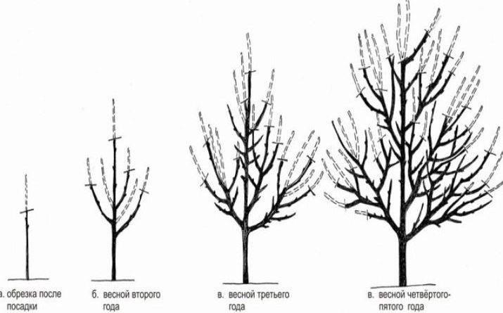 Алыча шатер: описание сорта, правила посадки и уход, обрезка и опылители