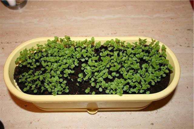 Руккола на подоконнике: выращивание из семян в домашних условиях