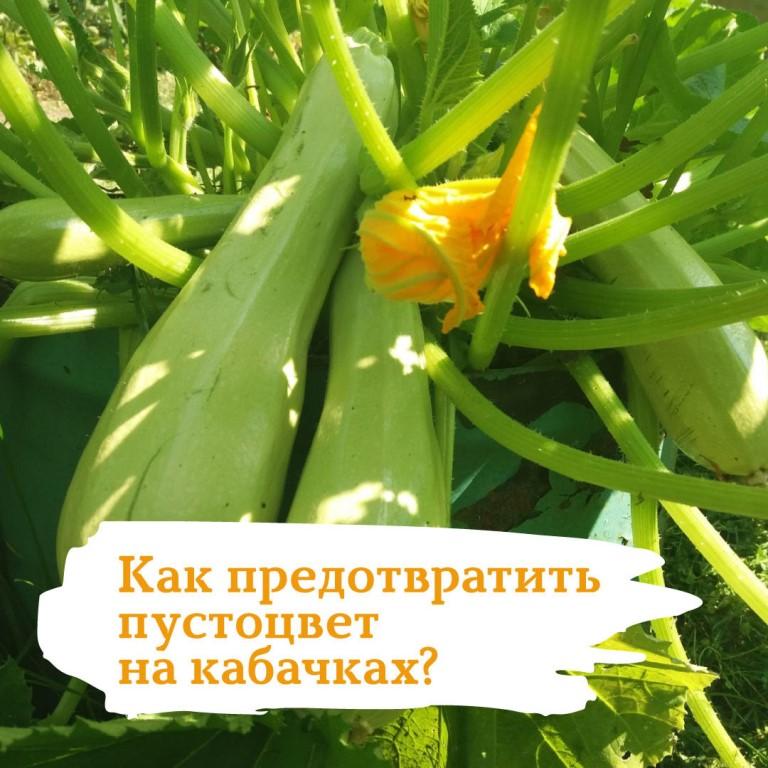 Почему на огурцах нет завязи, один пустоцвет, что делать, хотя они цветут, но желтеют и опадают: причины, как вернуть плодоношение