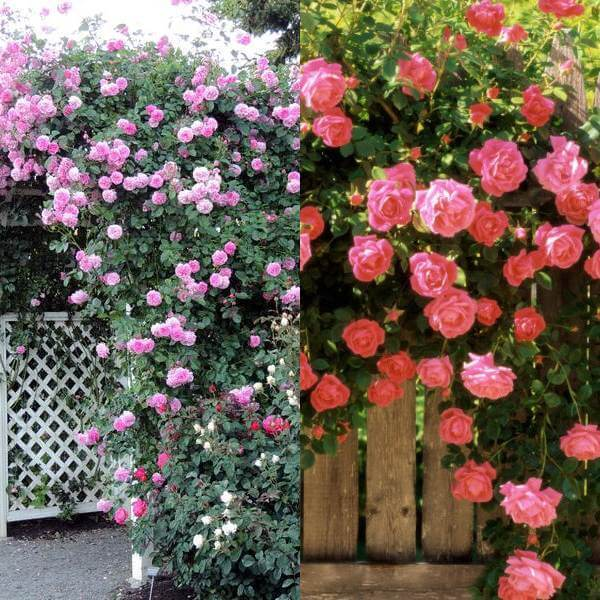 Плетистые розы: виды сортов, особенности посадки и ухода