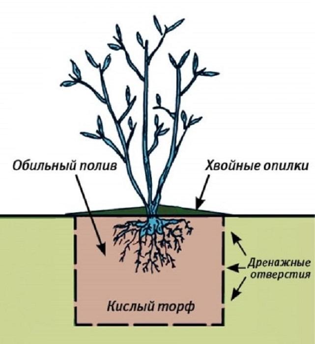 Голубика (фото) сорта, посадка и уход за ягодой на участке - советы ксх наук