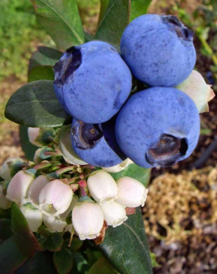 Голубика элизабет: описание ягодного сорта, отзывы, посадка и уход