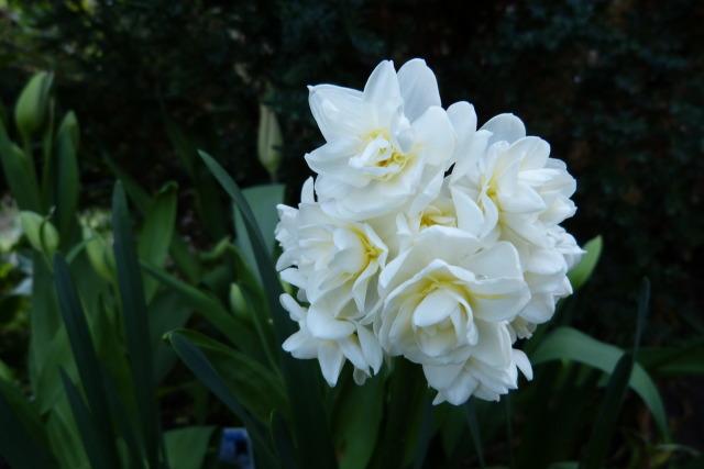 Нарциссы: посадка и уход в открытом грунте, выращивание из семян