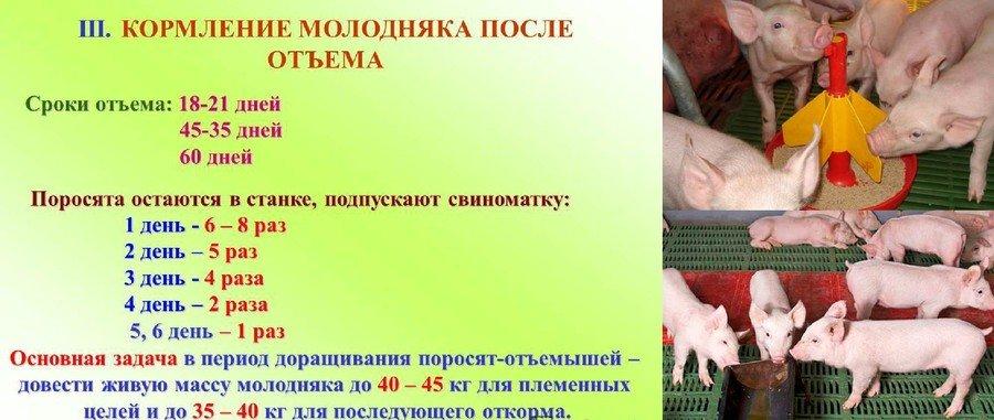 Разведение свиней в домашних условиях для начинающих