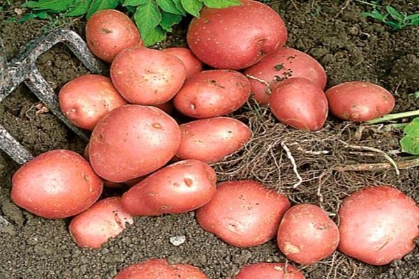 Картофель манифест – описание сорта, фото, отзывы