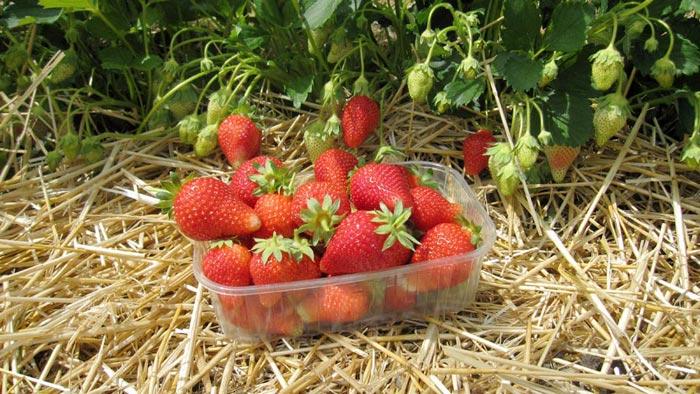 Тонкости посадки и выращивания крупноплодной клубники сорта азия