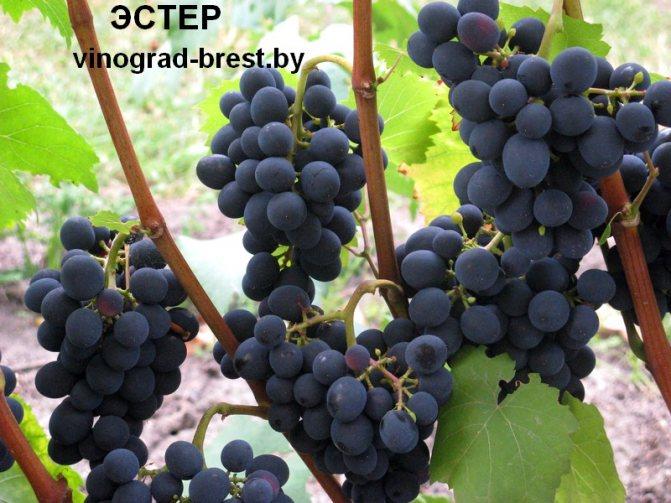 Виноград «красотка»: описание сорта, фото и отзывы, правила посадки и выращивания