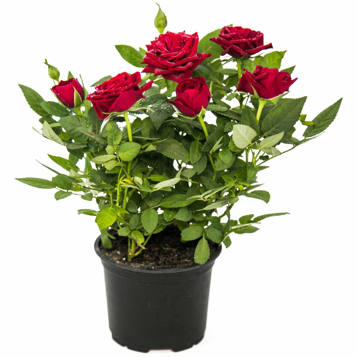 Правильный уход за розой кордана после покупки дома и в саду
