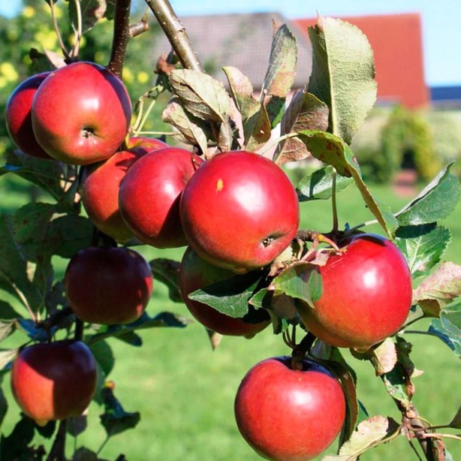 Яблоня джонатан: описание и достоинства сорта