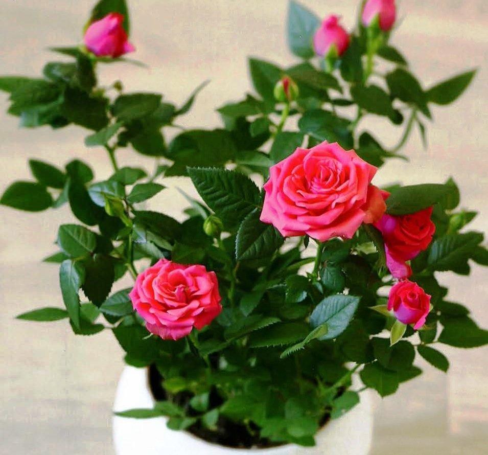 Классификация видов комнатных роз. названия, описание и фото сортов