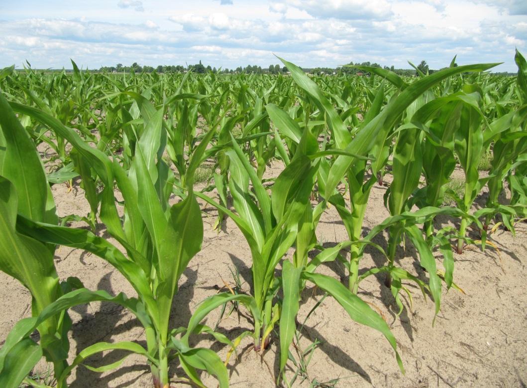 Уборка кукурузы на силос: методы и сроки сбора кукурузного урожая и его дальнейшее хранение, особенности выращивания