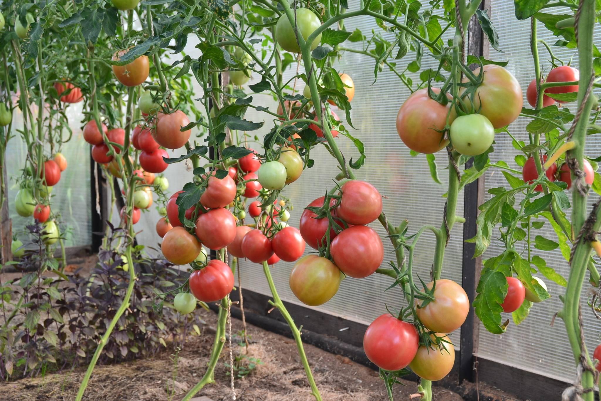 Новые сорта томатов на 2019 год для теплиц и открытого грунта
