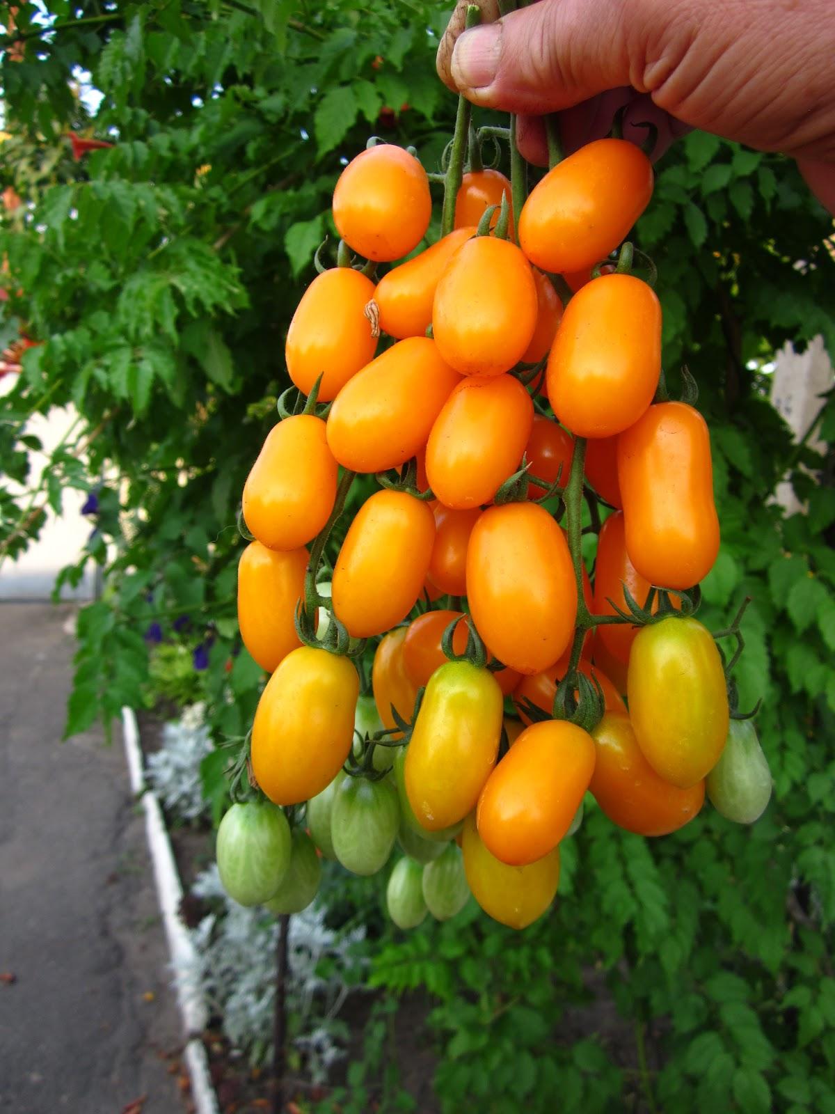 Томат финик желтый: отзывы, фото, урожайность   tomatland.ru