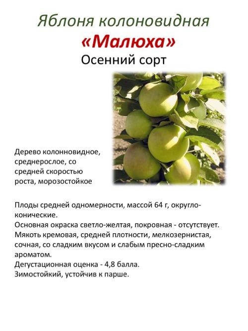 К олоновидная яблоня медок: посадка, выращивание и уход