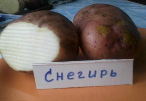 Сорт картофеля снегирь: характеристика, описание с фото, отзывы