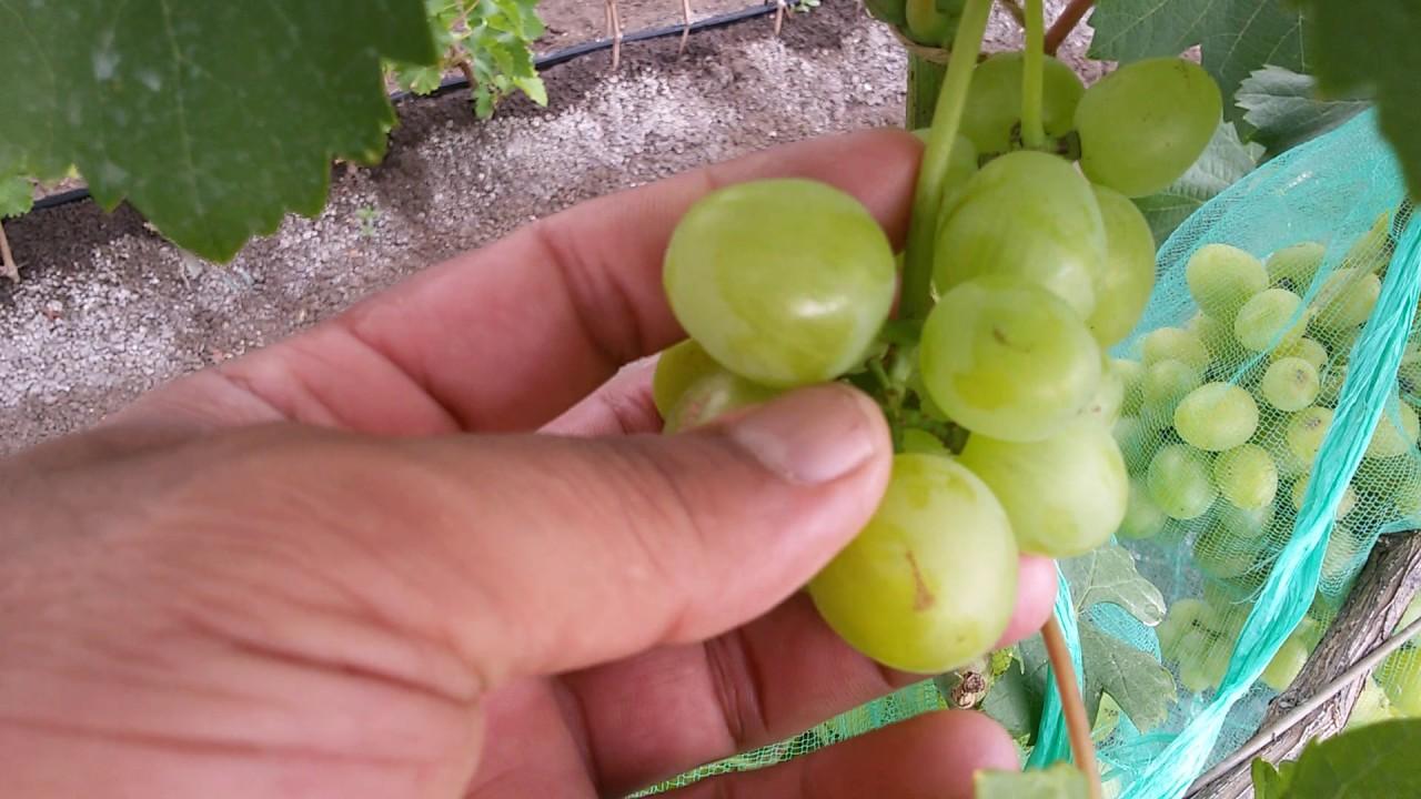 Описание сорта винограда супер-экстра