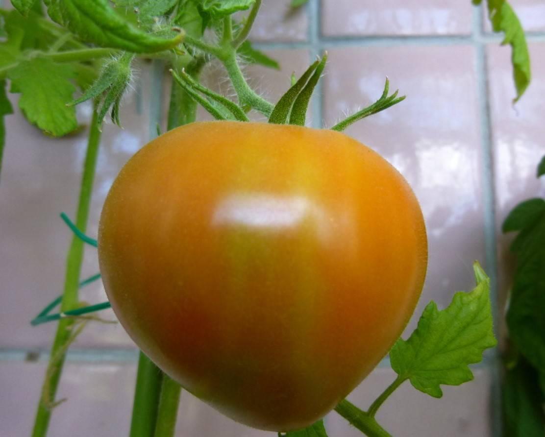 Выращиваем крупноплодный сорт томата буденовка в открытом грунте