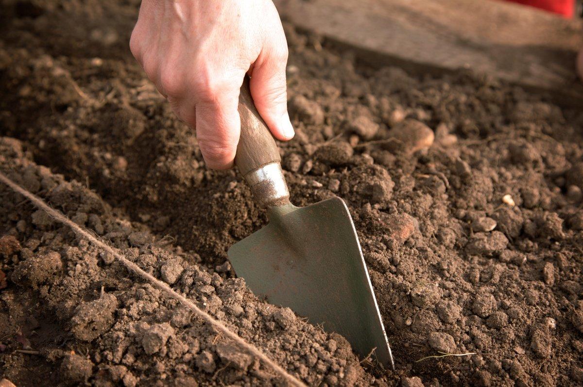 Посадка тюльпанов осенью: когда и как посадить луковицы