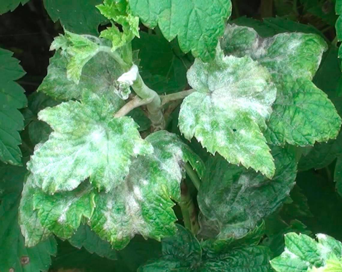 Белые пятна на листьях смородины – болезни, описание с фотографиями